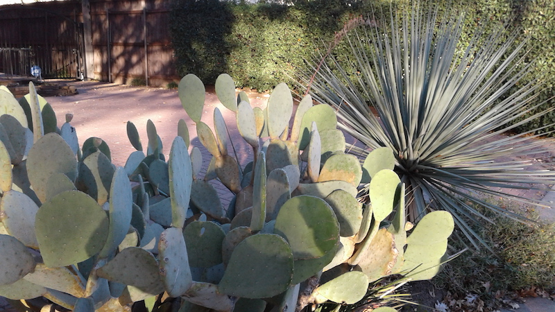 cacti on Avondale ave. web